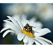 Bee on Daisy Photographic Print