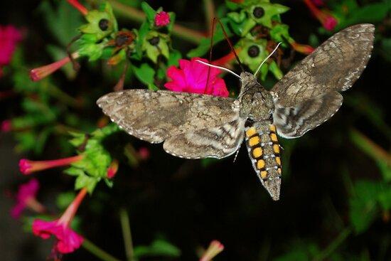 Hawk Moth by Tracey Hampton