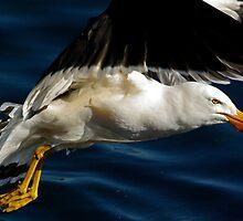 Pacific Gull by UncaDeej