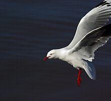 Silver Gull by UncaDeej