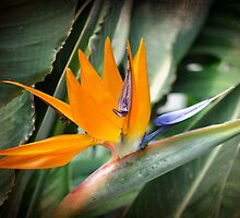 Bird of Paradise 2 by marycarnahan