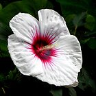 Hibiscus ~ Kopper King by Sharon Woerner