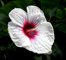 Hibiscus ~ Kopper King by Sharon Woerner