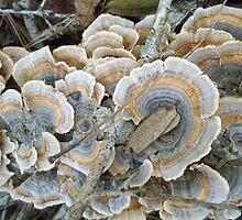 Turkey Tail Shelf Fungus - Trametes versicolor by MotherNature