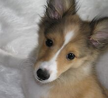 Holly the Sheltie by Ashan