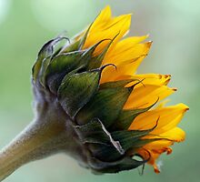 A sunflower by Dipali S
