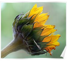 A sunflower Poster