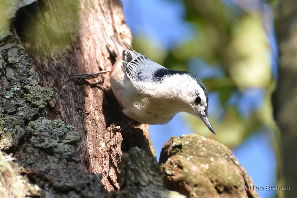 White-Breasted Nuthatch by William Brennan