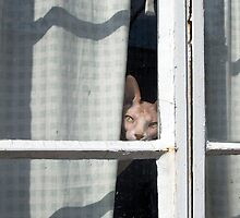 Sphynx Peeks 'Round the Curtain by Glennis  Siverson