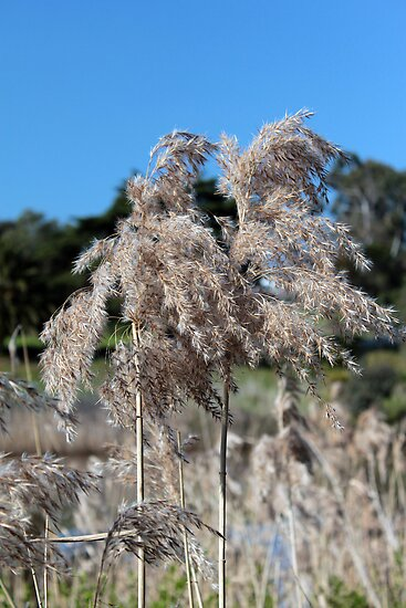 Seed Head of Bulrush at Geelong, Victoria. by kenhay