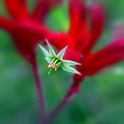 Kangaroo Paw by Jill Fisher