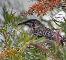 Red Wattlebird by Eve Parry