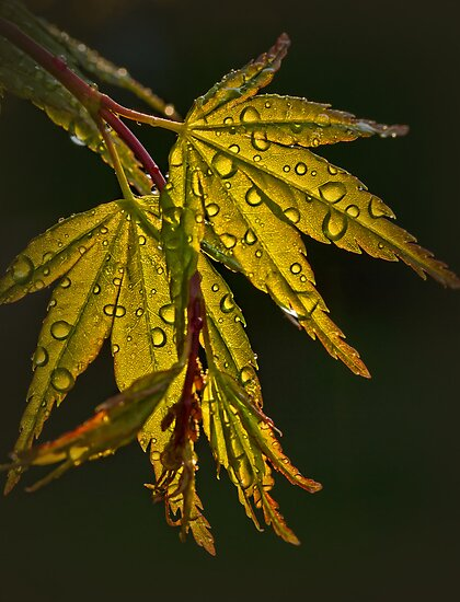 Maple Magic by Barb Leopold