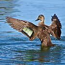 Pacific Black Duck - Anas superciliosa by Barb Leopold
