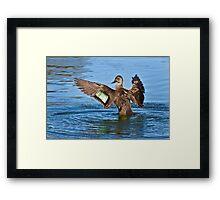 Pacific Black Duck - Anas superciliosa Framed Print