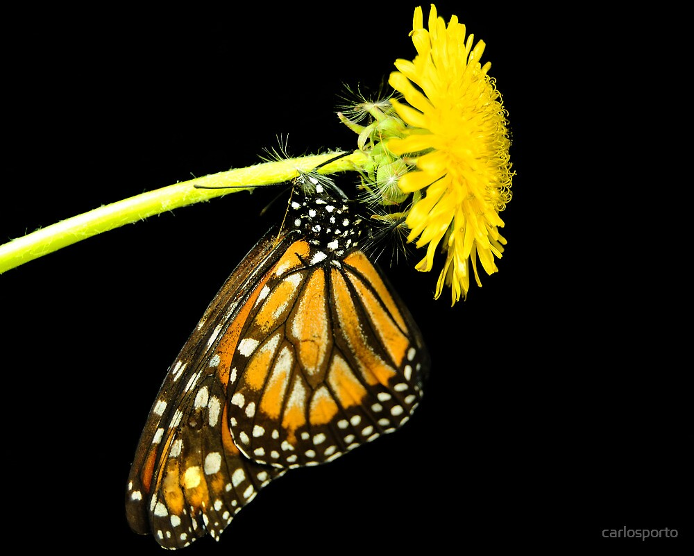 Monarch Butterfly by carlosporto