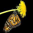Monarch Butterfly by carlosporto