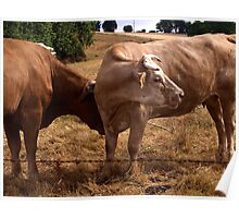 Rustic French Cows  Poster