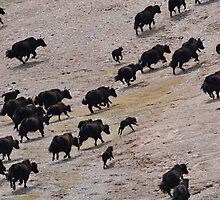 Female wild yak and calves by liutong