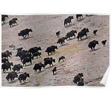 Female wild yak and calves Poster