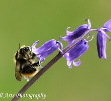 Bumble Bee on Bluebell by Malcolm Marshall