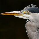 Heron closeup by Esther  Moliné