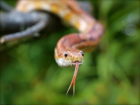 Cornsnake by Reg1