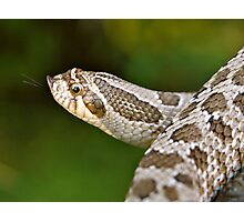 Hognose Photographic Print