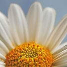 A Sunny Marguerite Daisy by IngeHG