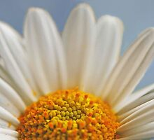 A Sunny Marguerite Daisy by IngeHG