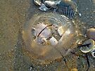 Stranded by the Tide - Clear Jellyfish by MotherNature