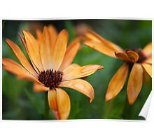 Vibrant African Daisy Poster