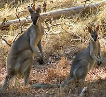 Pretty Faced Wallabies  by Margaret Stanton