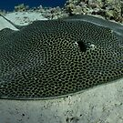 Honeycomb ray resting on Yolande plateau by shellfish