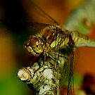 Female Darter by Russell Couch