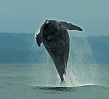 Humpback Whale Calf Breaching, Juneau Alaska by JMChown