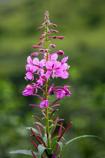 Fireweed by Gary L   Suddath