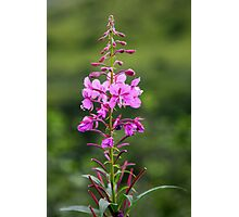 Fireweed Photographic Print