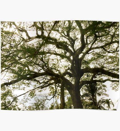 Tree 2- St.Kitts, Eastern Caribbean Poster