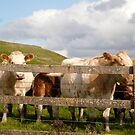 Cows Of Ireland - Ireland by Jenny Hambleton