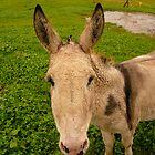 Donkey Face - Castle Marter, Ireland by Jenny Hambleton
