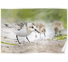 Sanderling and Friends. Poster