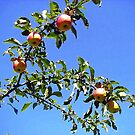 Apples against the Blue Sky by sstarlightss