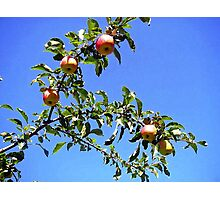 Apples against the Blue Sky Photographic Print