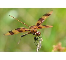 Male Pennant Closeup Photographic Print