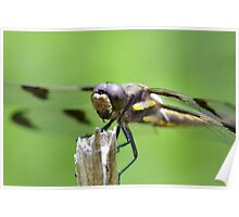Female Twelve-spotted skimmer Poster