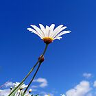 Soak up the Sun Daisy by Akrotiri