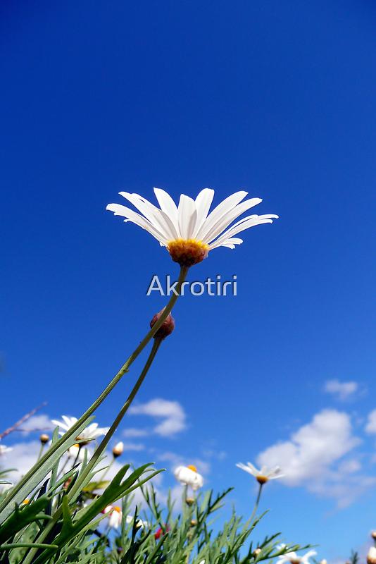 Soak up the Sun Daisy by Akrotiri