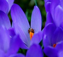 Ladybird by Vac1