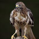 The hawk with talent hides its talons by John44